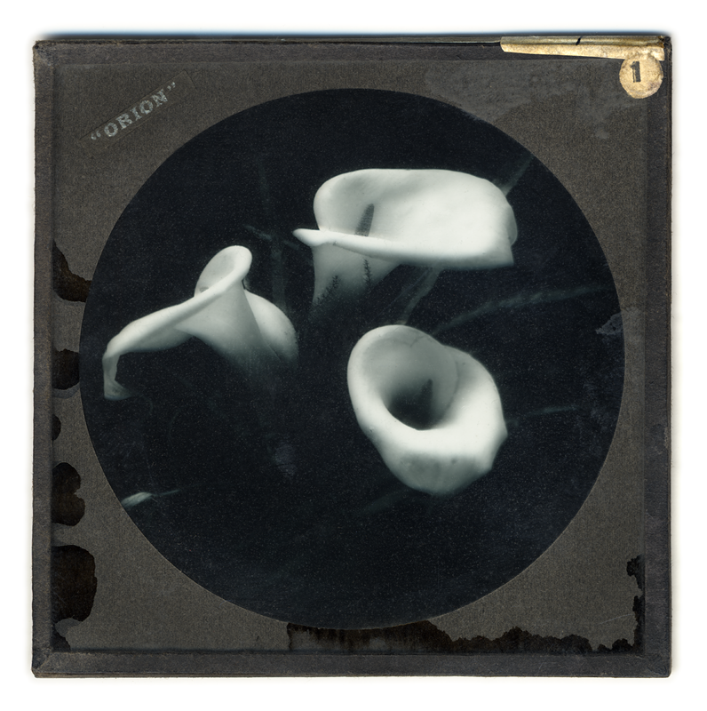 Marcus Bunyan. 'Arum Lily' 2004 from the series 'Neo_mort'